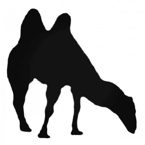 Two Humped Camel Eating...